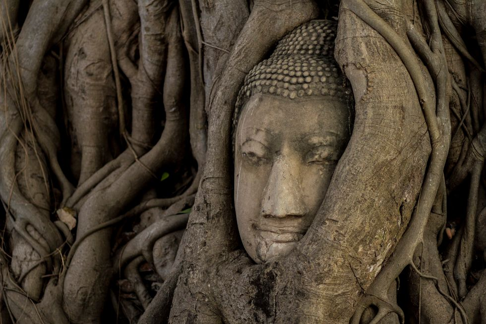 Buddha's head coming out of vines.