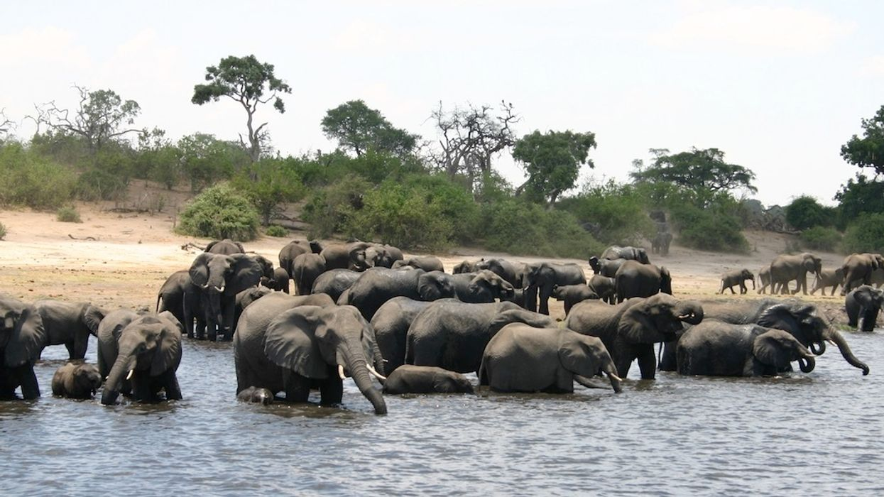 87 Elephants Killed for Ivory Near Botswana Sanctuary