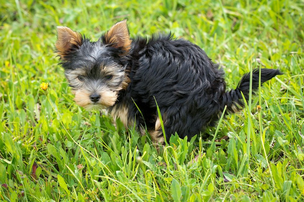 https://www.pexels.com/photo/yorkshire-terrier-puppy-on-green-grass-field-164492/