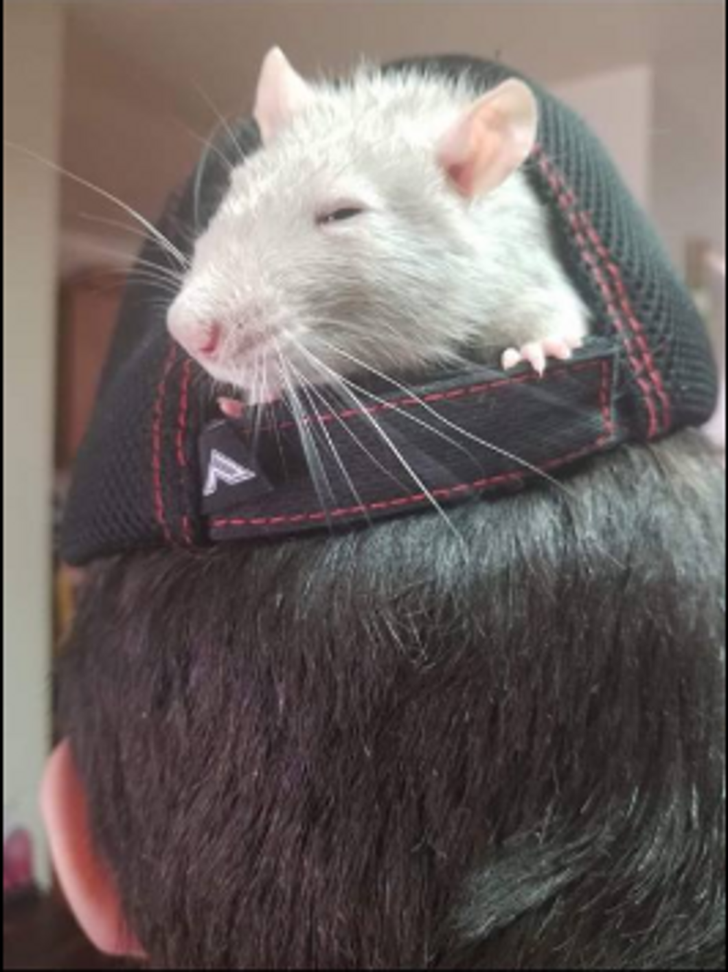 Lisa Hurtado- Silver sticking his head out of a hat