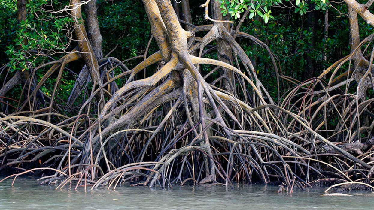 Amazon Mangroves 'Twice as Carbon Rich' as Its Rainforests