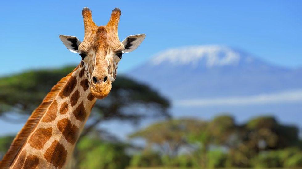 Friendly, Charismatic Giraffe to Give Birth Live
