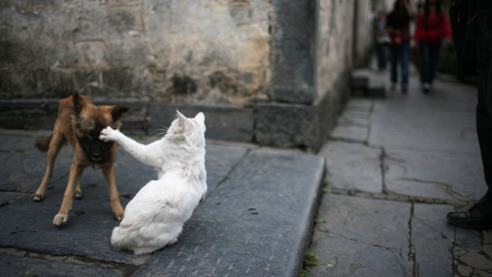 Ancient cats drove many dogs to extinction