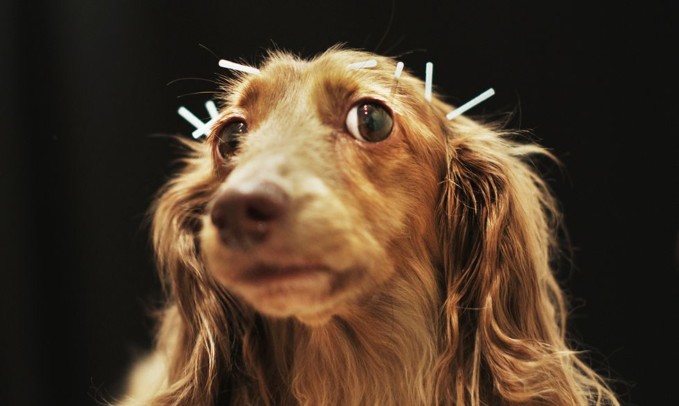 Chocolate, a miniature dachshund receives acupuncture therapy