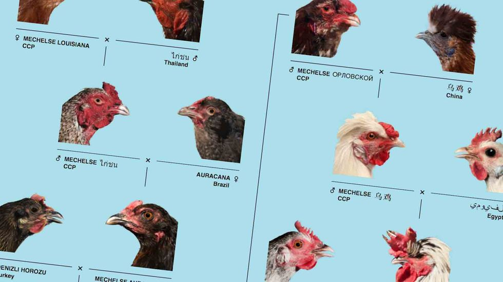 What Happens When An Artist Thinks Like a Scientist? Better Chicken