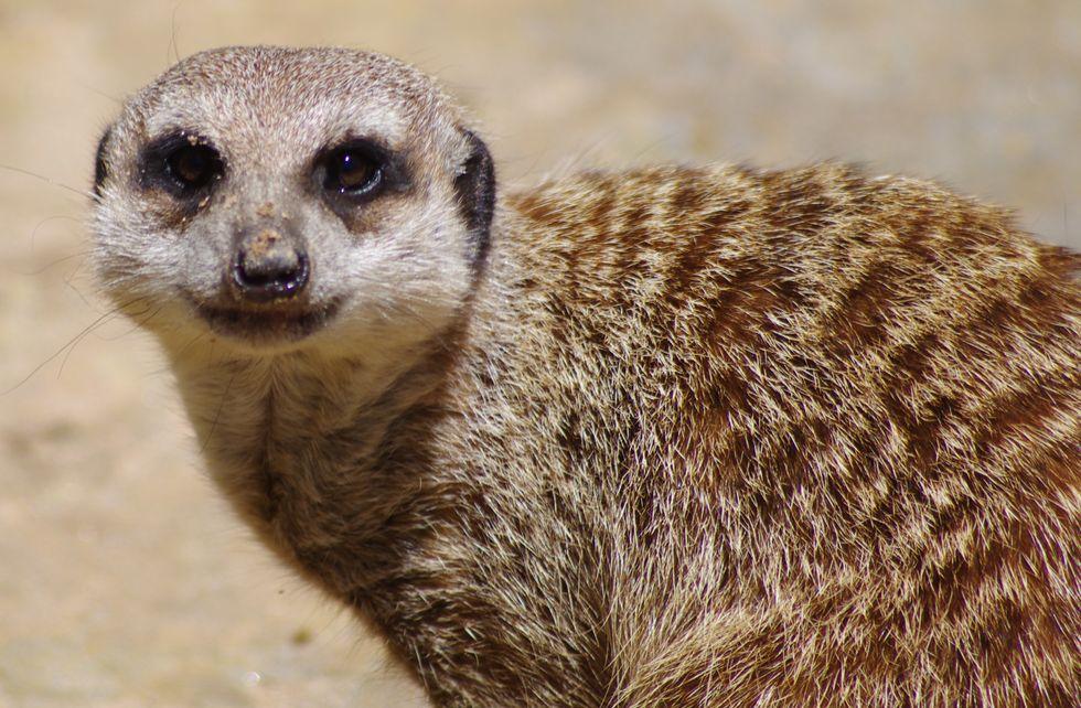 Meerkat staring at the camera.