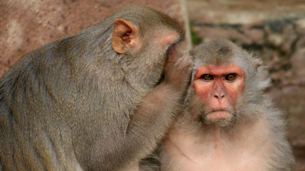 Macaques share a secret