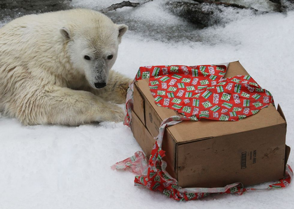 A Polar Bear named Pike prepares to open a gift box while playing in freshly blown snow at the San Francisco Zoo