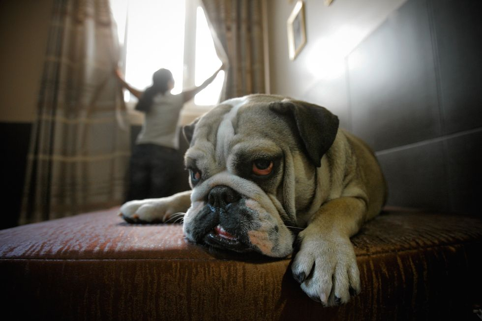 A bull dog sits on the bed while a woman opens the curtains.