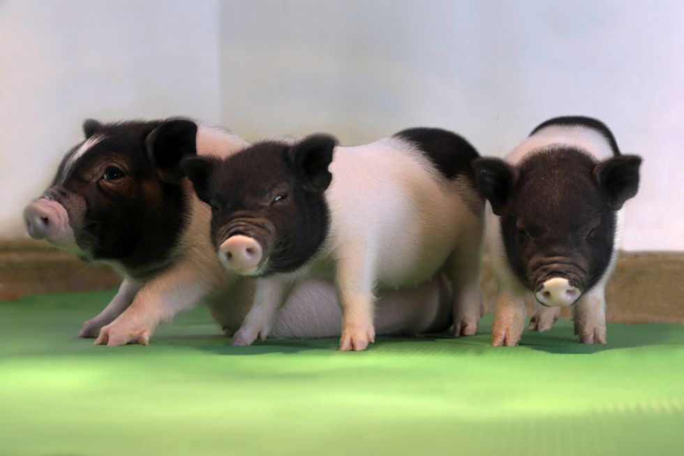 Virus-free piglets