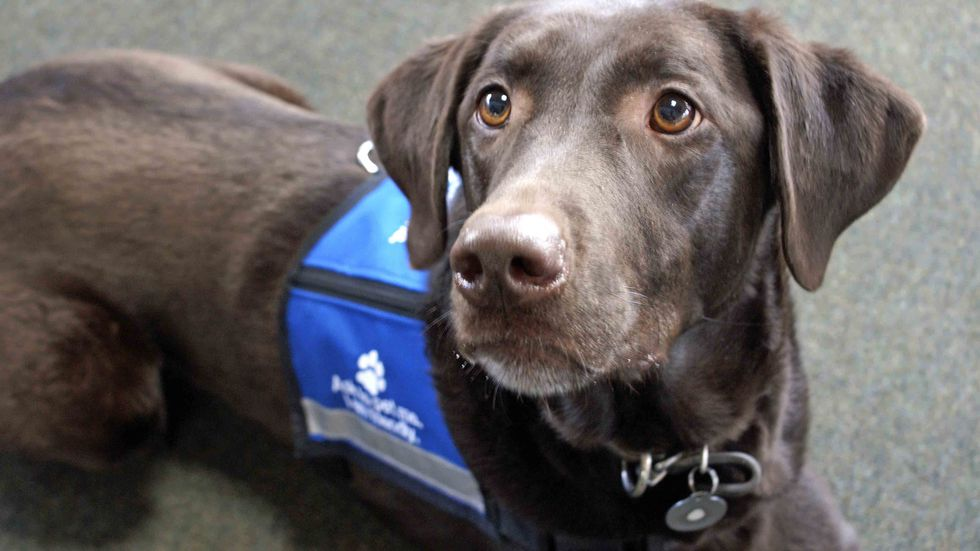 """Palmer the chocolate Labrador retriever, an expressive animal, lays looking eagerly off to the left while wearing a blue """"ask to pet me"""" vest. (Shutterstock)"""