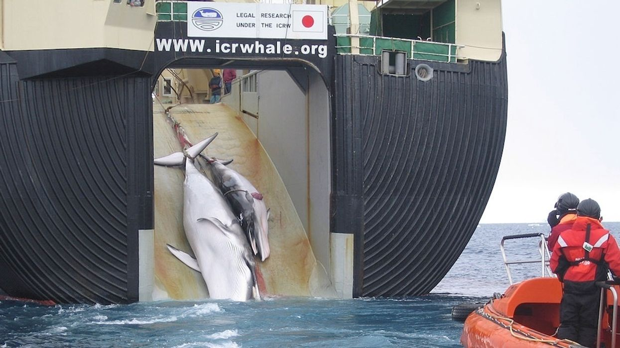 Japan Aims to Overthrow 32-Year-Old Global Whaling Ban