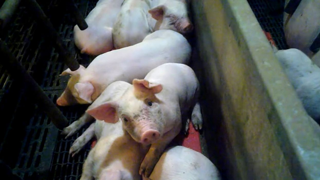 Investigation Exposes Animal Abuse at U.S. Supplier to World's Largest Meat Company