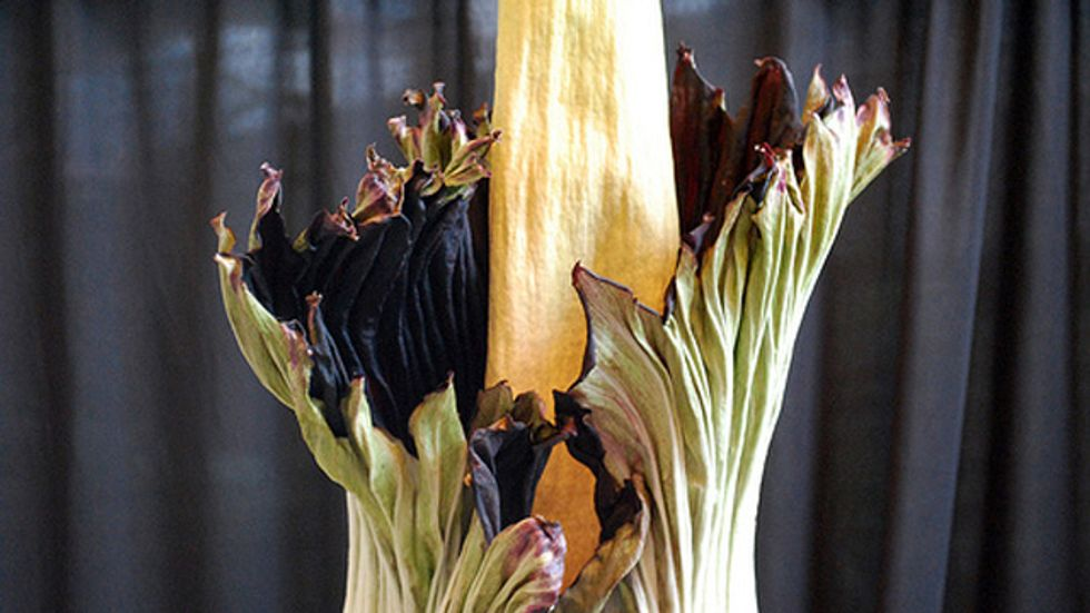 "Rare ""Corpse Flower"" Smells Like Rotting Flesh"