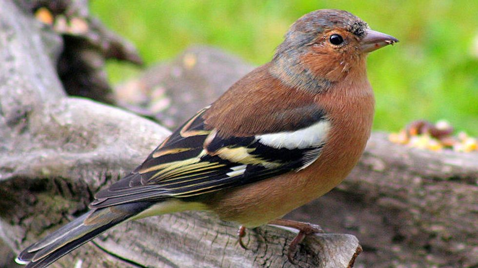 Chaffinch Map of Scotland