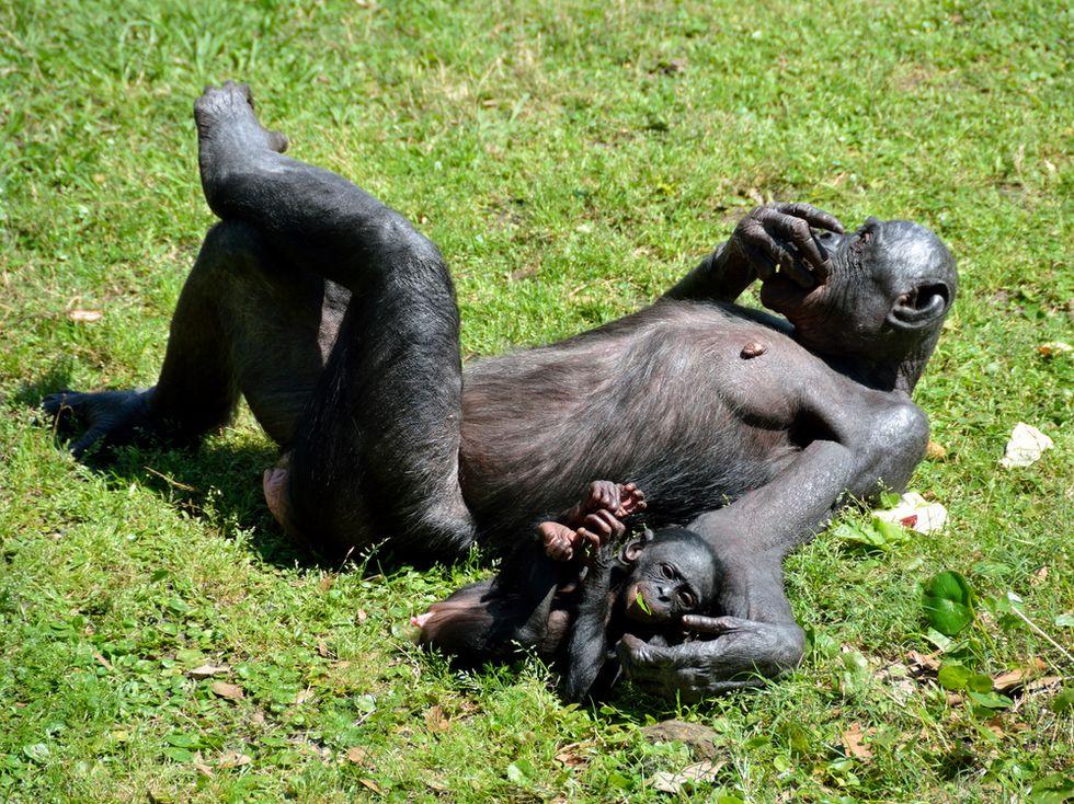 Bonobo Taboos: Examining the Primate Hippy Image