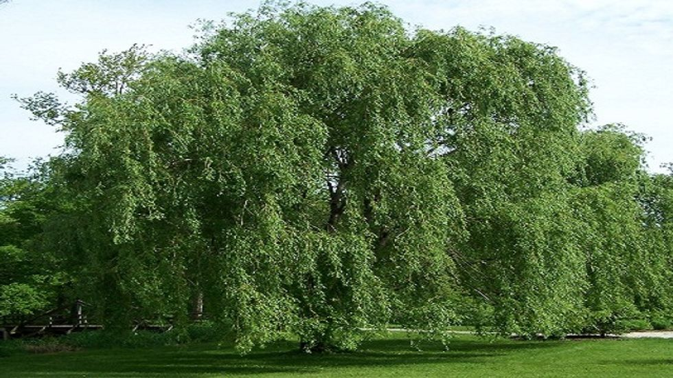 The Willow-Bark Fallacy [and a challenge to readers]
