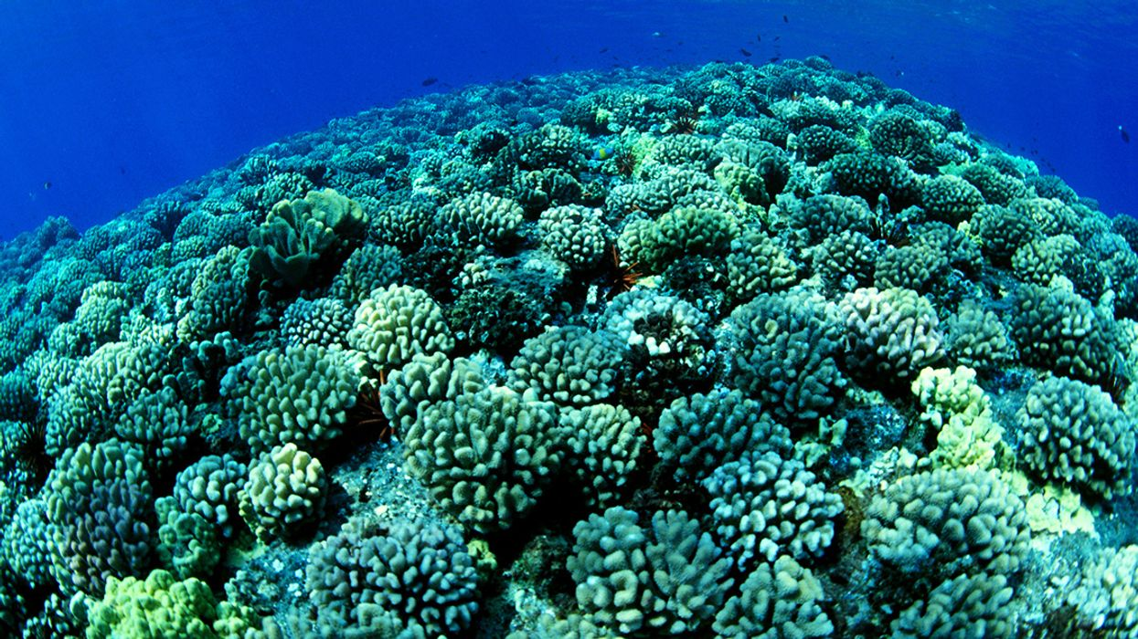Hawaii's Cauliflower Coral Moves Toward Endangered Species Act Listing