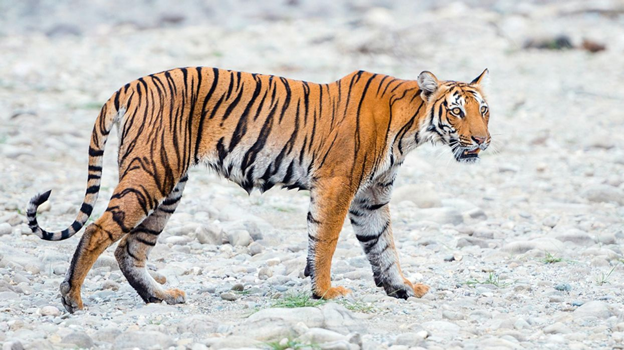 Wild Tiger Population Nearly Doubles in Nepal