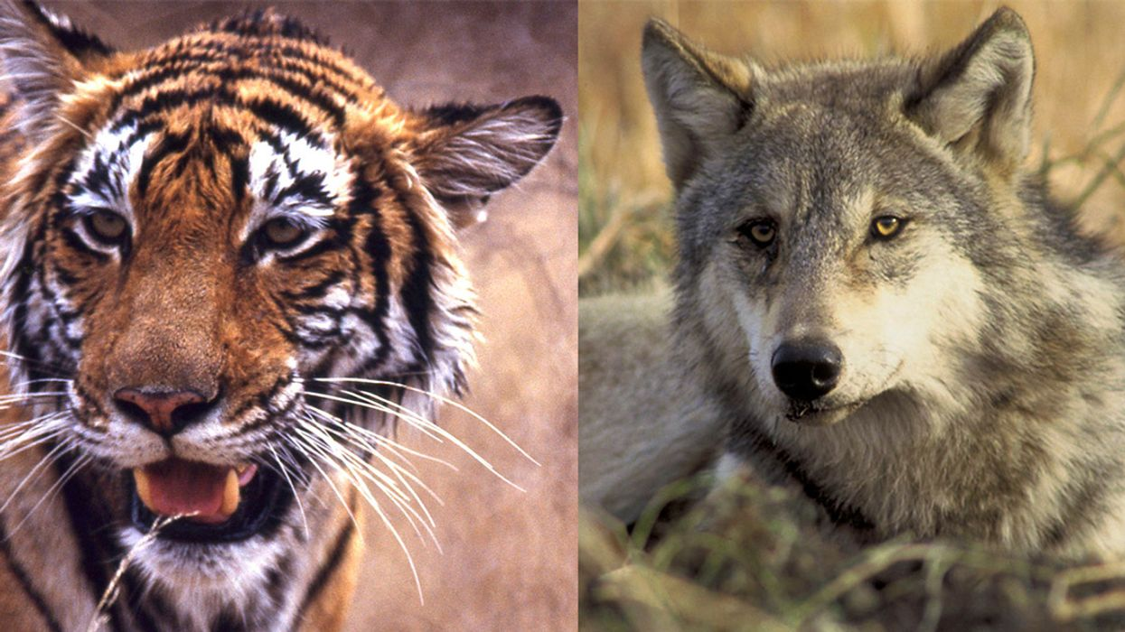 Tigers and Wolves: The Reigning Cats and Dogs in Conservation?