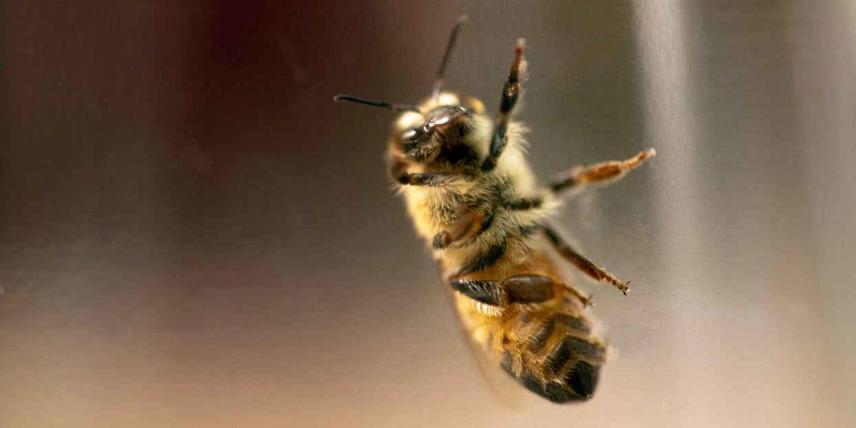 Active ingredient in Monsanto's Roundup hurts honey bee guts
