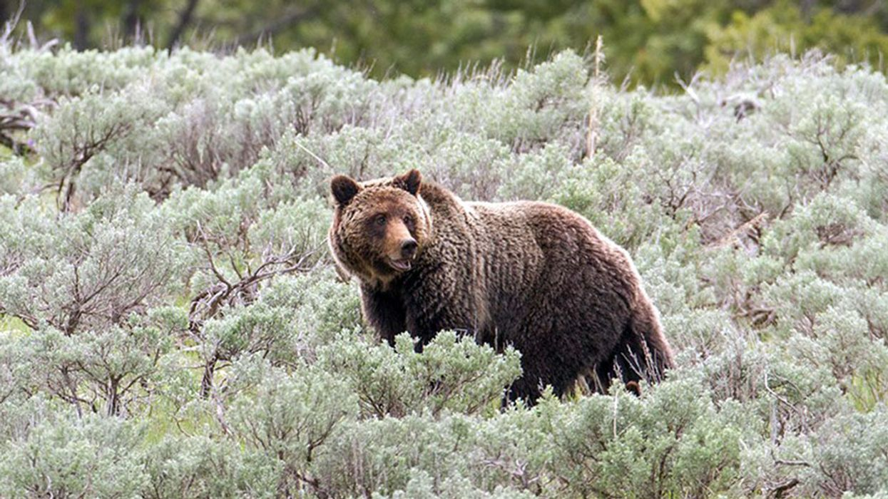 Yellowstone Area Grizzlies Regain Endangered Species Protection