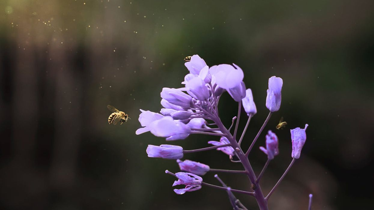 Glyphosate Could Be Factor in Bee Decline, Study Warns