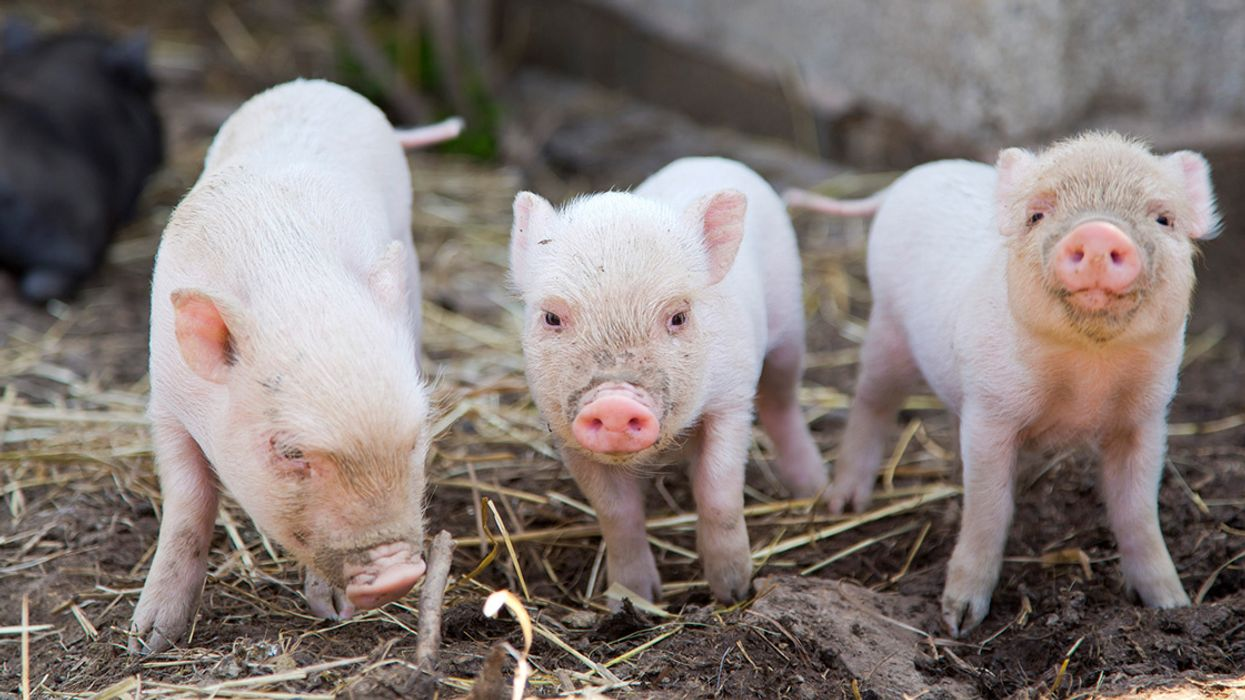 Locals Unite to Stop Hog Farms From Polluting Their Community
