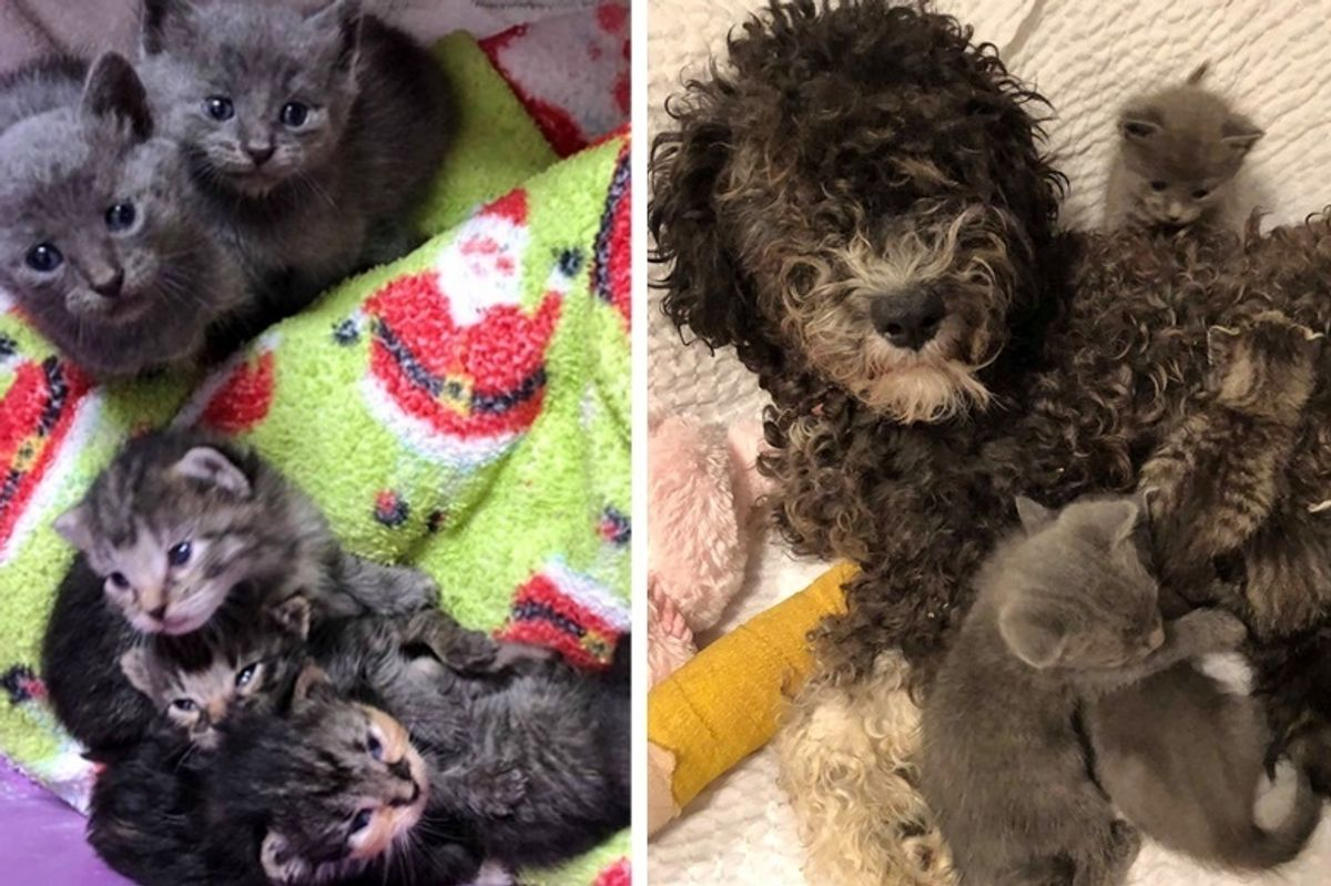 Kittens Who Need a Mom, Find Love in Rescued Dog Who Misses Her Pups