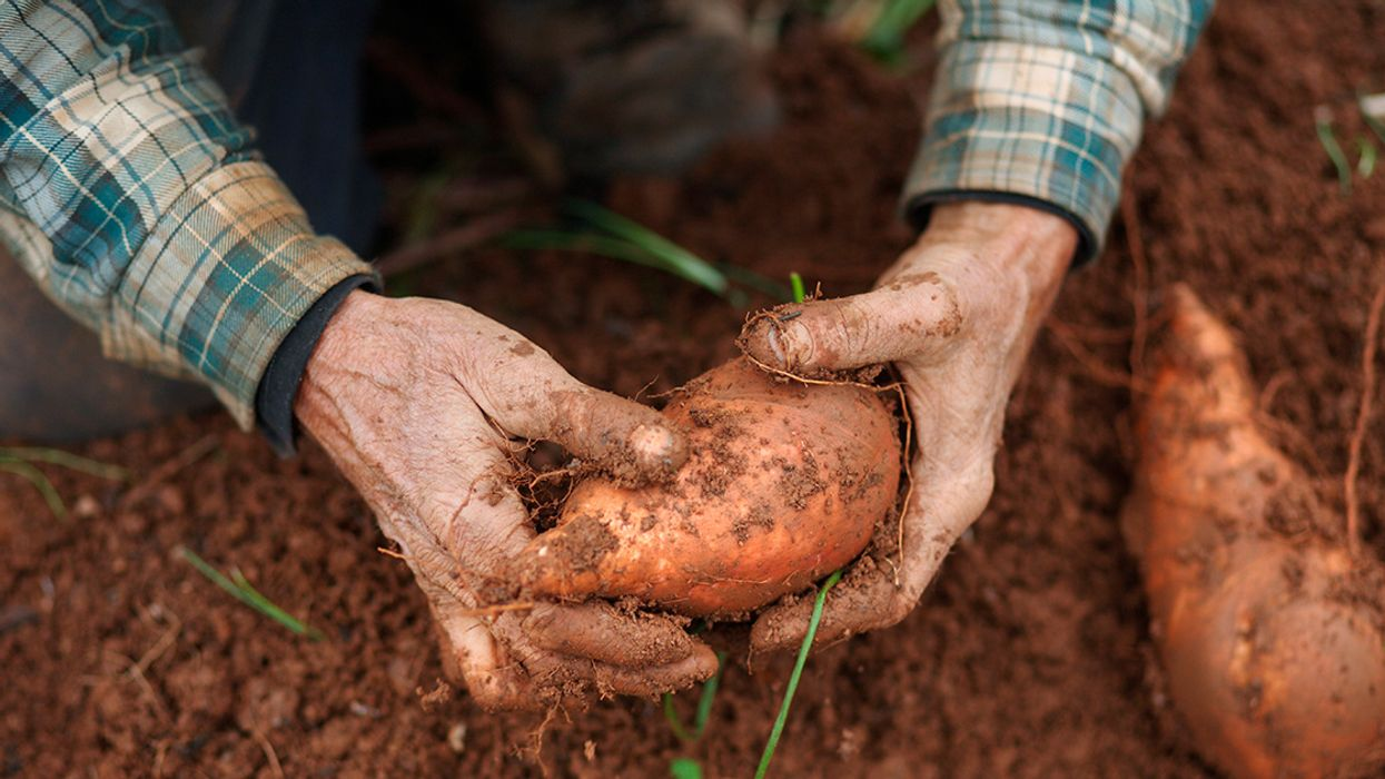 North Carolina Produces 60% of the Country's Sweet Potatoes. The Crop Is in Trouble