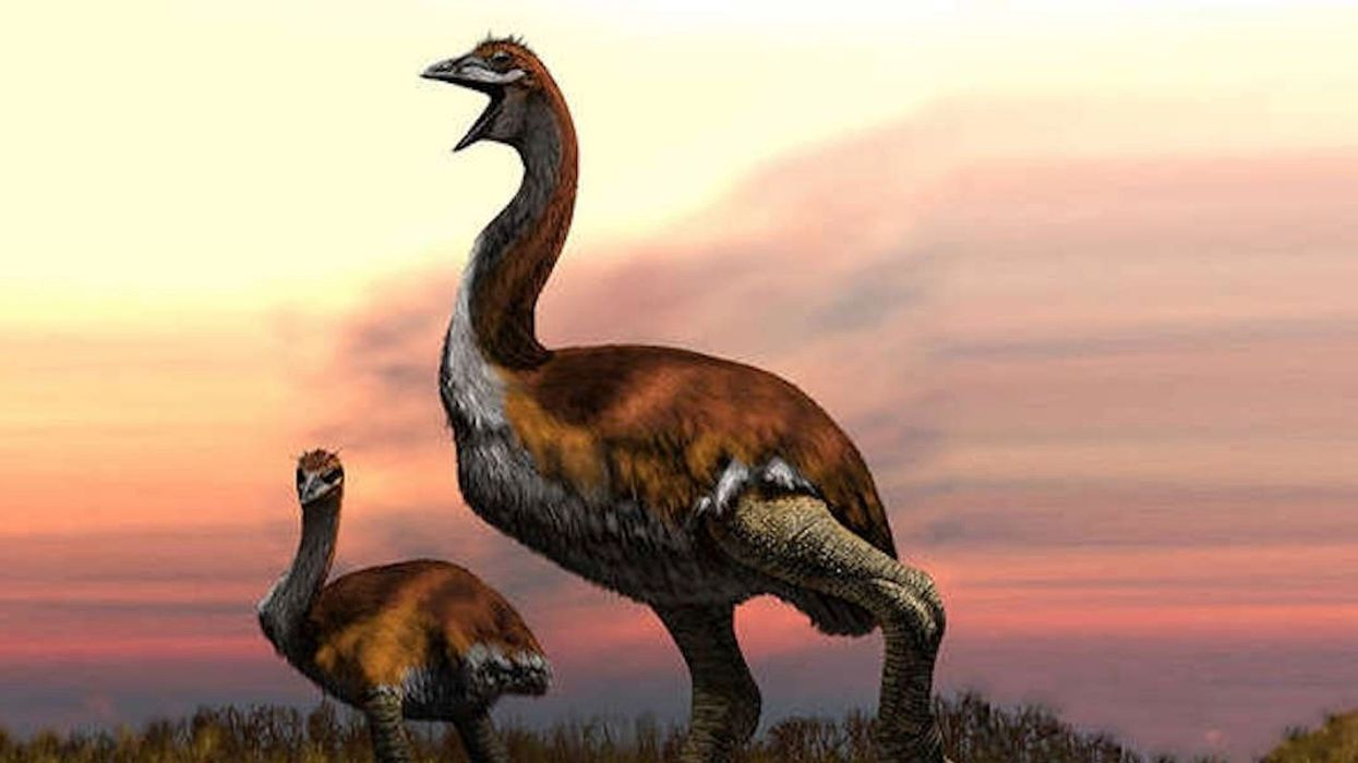 The World's Largest Bird Weighed as Much as a Giraffe