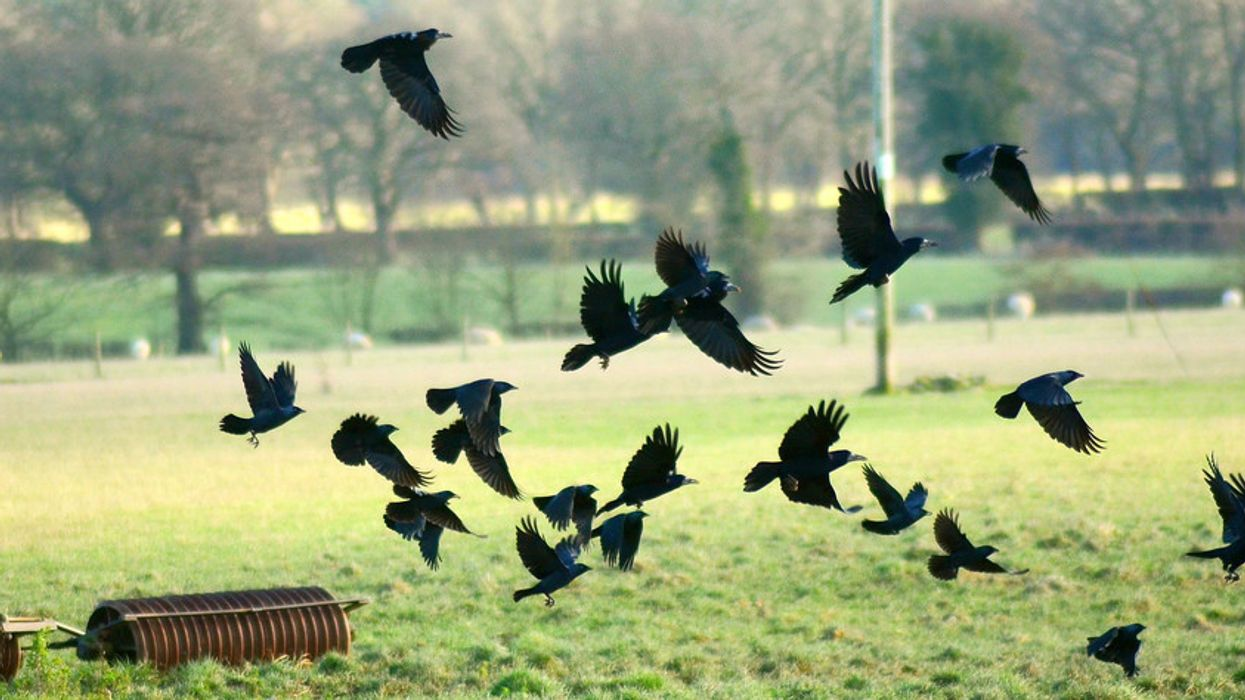 Why is it called a murder of crows?