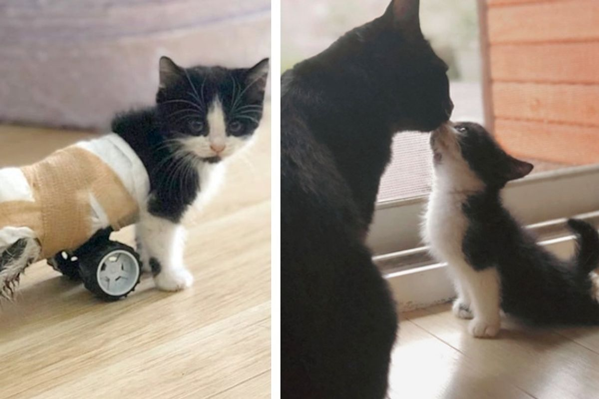Kitten Who Can't Use His Back Legs, Gets New Set of Wheels and Can't Stop Running