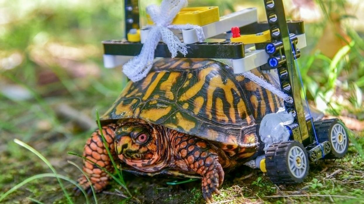 Injured Turtle at Maryland Zoo Heals in LEGO Wheelchair