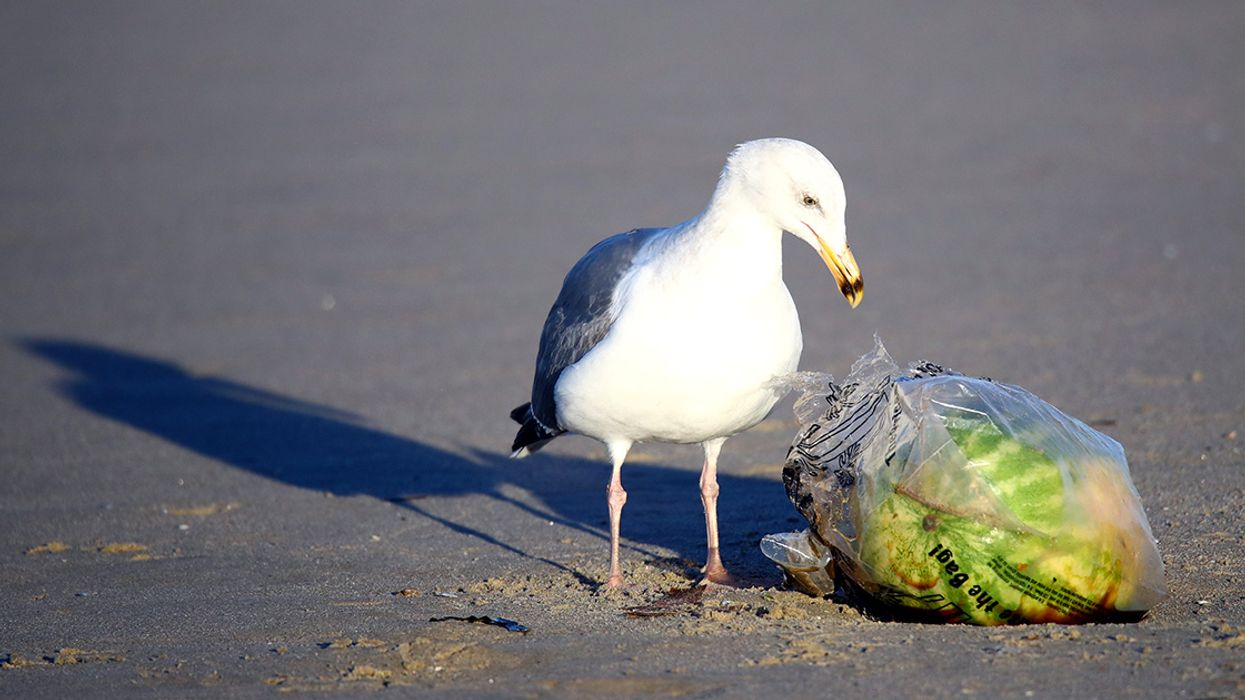 99% of Seabirds Will Have Plastic in Their Guts Within Decades