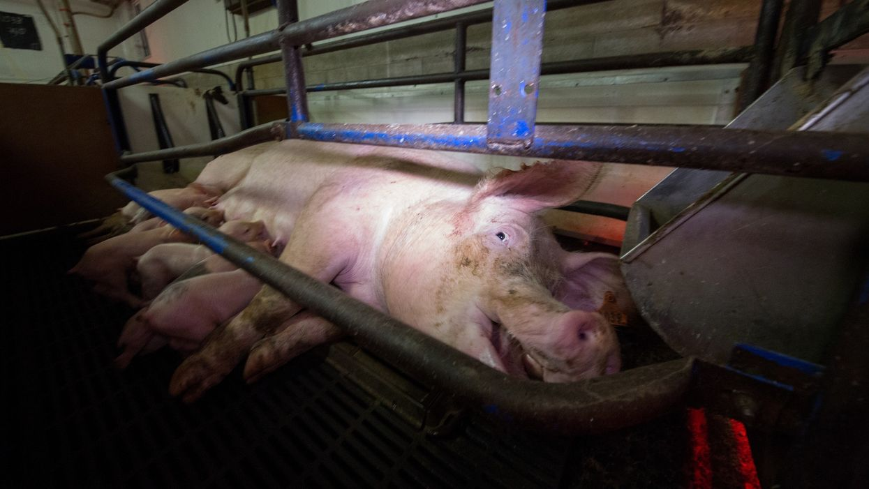 On factory farms, the death rate of pig sows is soaring