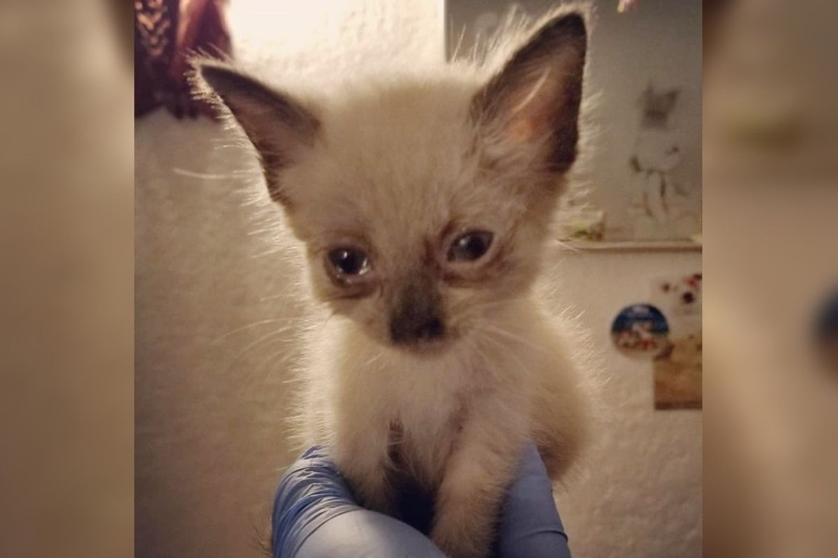 Kitten Who Was Found Near-blind, Got Her Beautiful Eyes Back Through Incredible Recovery