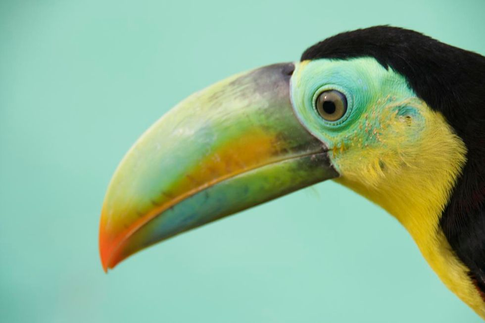 Beautiful Keel-Billed Toucan Keeps a Watchful Eye in Panama