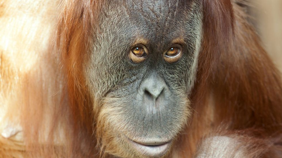 Should Primates Have the Same Rights as Humans?