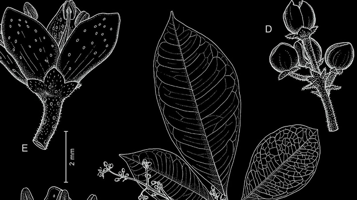 New Tree Species Discovered — and Declared Extinct