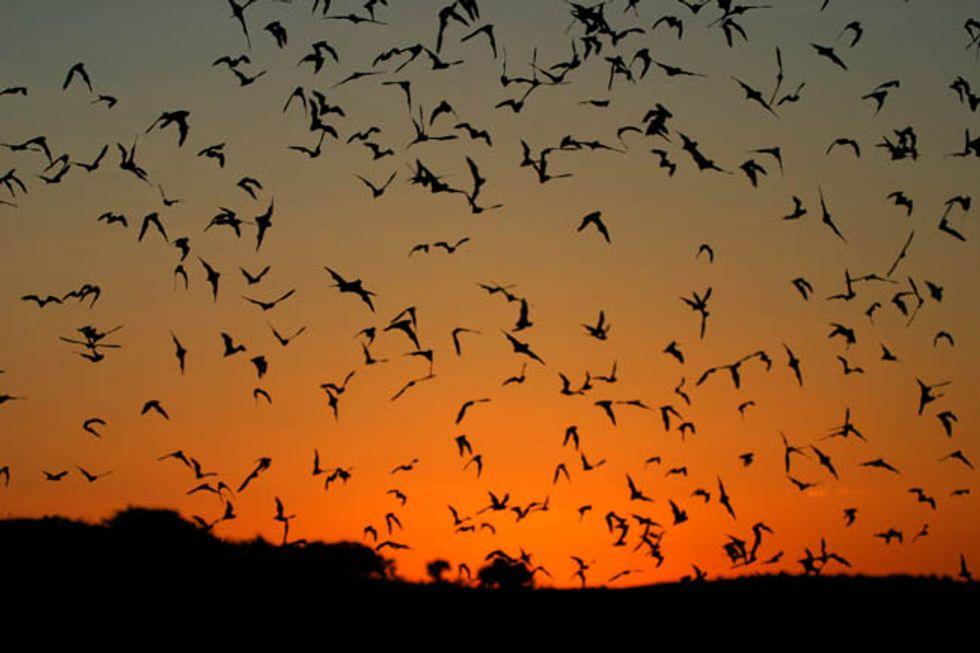 Bats flying at sunset. (Credit: US Fish and Wildlife Services.)