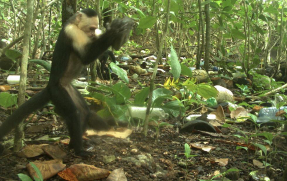 Capuchin using a tool
