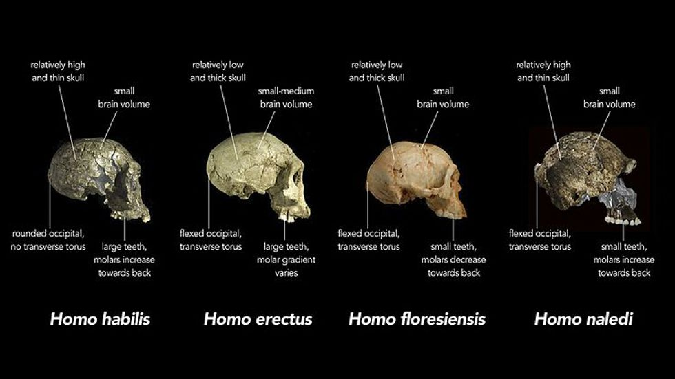 Replica crania of (L-R) Homo habilis (Kenya ∼1.8m years old), an early Homo erectus (Georgia ∼1.8mil years old) and Homo floresiensis (Indonesia ∼20,000 years old) are compared with actual fragments of cranial material of Homo naledi.
