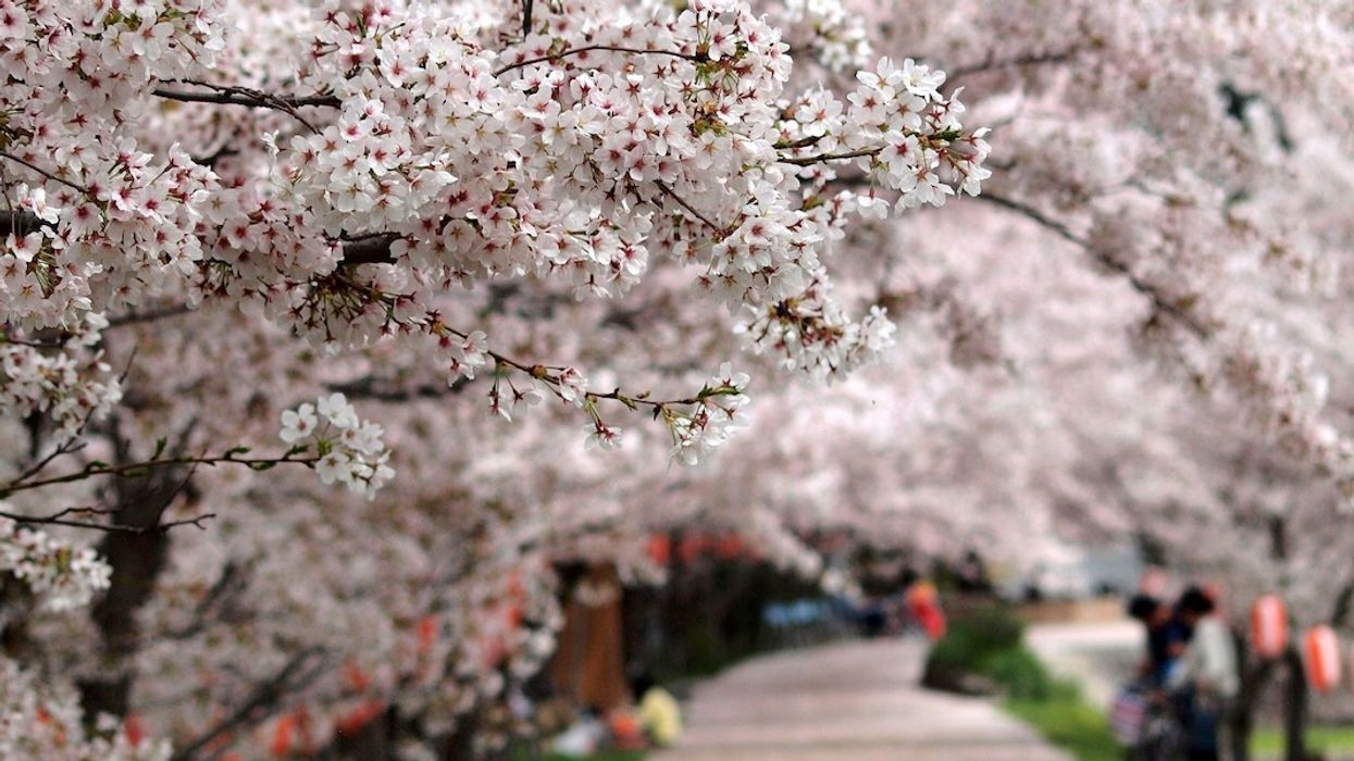 Cherry Blossoms Are Blooming Across Japan. It's October.