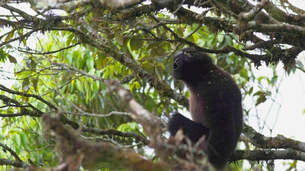 It's International Gibbon Day! Check Out These Magnificent Primates
