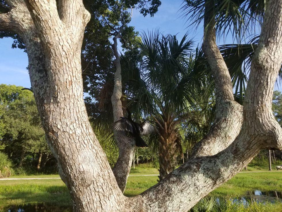 Anhinga Drying Off on a Tree