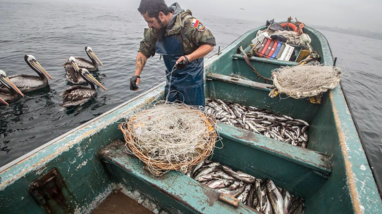Loved to Death: How Pirate Fishing Decimates Chile's Favorite Fish