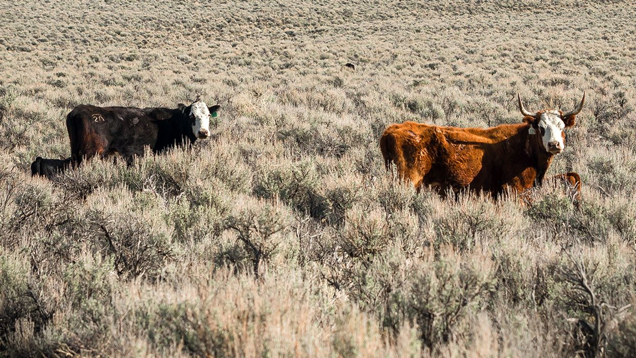 Yes, Eating Meat Affects the Environment, But Cows Are Not Killing the Climate