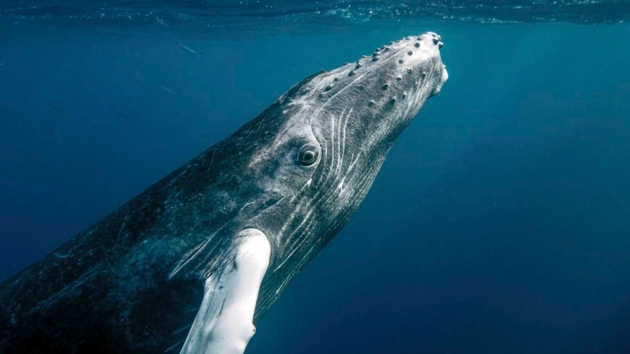 Humpback Whales Are Falling Silent and the Reason Will Make You Cry