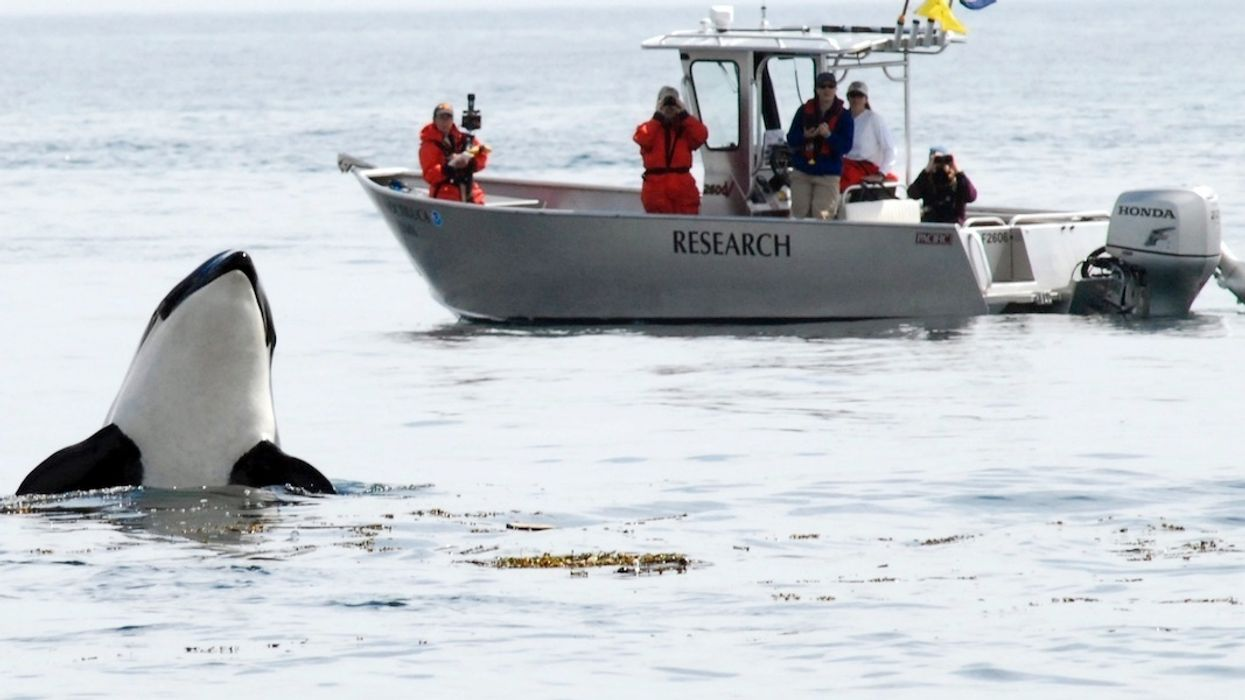 With Only 74 Southern Resident Orcas Left, New Protections Announced For Iconic Killer Whales